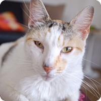 Calico Cat for adoption in Los Angeles, California - Momo