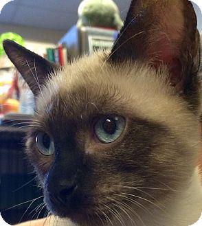 Siamese Kitten for adoption in Tucson, Arizona - Cobalt