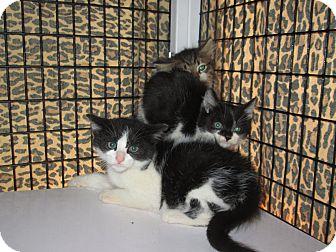 Domestic Shorthair Kitten for adoption in Monterey, Virginia - M&M -no fee