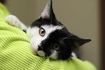 Domestic Shorthair Kitten for adoption in Marietta, Georgia - McQueen