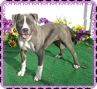 Pit Bull Terrier Mix Dog for adoption in Marietta, Georgia - CIARA - available 2/20