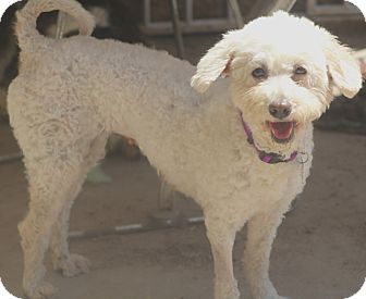 Bichon Frise/Poodle (Miniature) Mix Dog for adoption in Allentown, Pennsylvania - Carmella