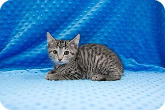 Domestic Shorthair Kitten for adoption in Tallahassee, Florida - AJ