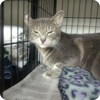 Domestic Shorthair Cat for adoption in North Kingstown, Rhode Island - Pretty Lady