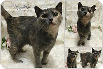 Domestic Shorthair Cat for adoption in Joliet, Illinois - Symphony