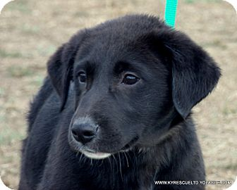 Clumber Spaniel/Labrador Retriever Mix Puppy for adoption in parissipany, New Jersey - NIKEY/ADOPTED