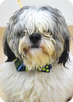 Shih Tzu Mix Dog for adoption in Dublin, California - Matt