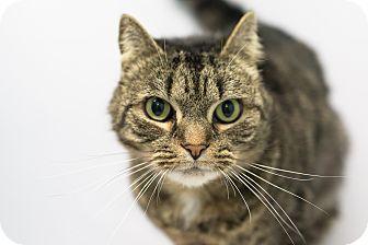 Domestic Shorthair Cat for adoption in Daytona Beach, Florida - Stephan