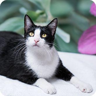 Domestic Shorthair Cat for adoption in Houston, Texas - Elgin