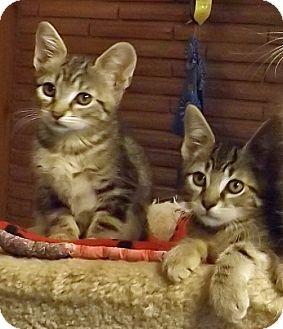Domestic Shorthair Kitten for adoption in Salem, Oregon - Thomas
