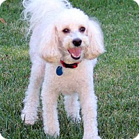 Adopt A Pet :: Nigel - Antioch, CA