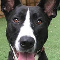 Border Collie Mix Dog for adoption in Sugar Grove, Illinois - Star