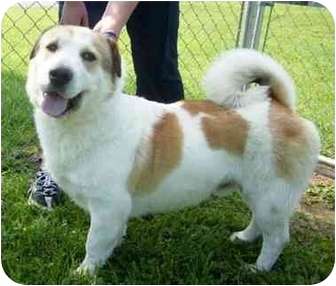 Shar Pei Mix Dog for adoption in Radford, Virginia - Sheldon