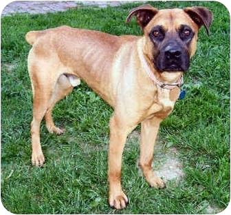 Boxer/Shepherd (Unknown Type) Mix Dog for adoption in Latrobe, Pennsylvania - Norman