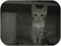 Domestic Shorthair Kitten for adoption in Tampa, Florida - Pepper