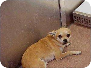 Chihuahua Mix Dog for adoption in Coppell, Texas - Papi