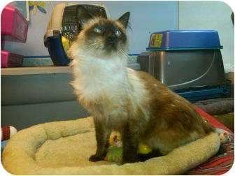 Siamese Cat for adoption in Sterling Hgts, Michigan - Frankie (front declaw)