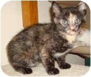 Domestic Shorthair Kitten for adoption in Mt. Prospect, Illinois - Raven