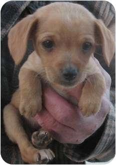 Chihuahua/Terrier (Unknown Type, Small) Mix Puppy for adoption in Corona, California - DAKOTA