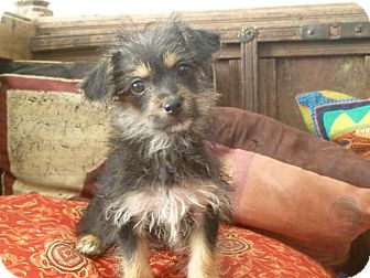 Yorkie, Yorkshire Terrier/Chihuahua Mix Puppy for adoption in Los Angeles, California - Basil