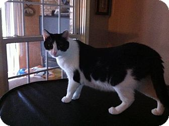 Domestic Shorthair Cat for adoption in Lexington, Kentucky - Petals