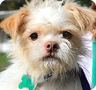"Shih Tzu Mix Dog for adoption in Wakefield, Rhode Island - RABBIT(TINY ""SCRUFFY"" PUP!!"