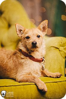 Norwich Terrier Mix Puppy for adoption in Portland, Oregon - Sparky