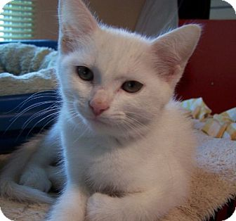 Domestic Shorthair Kitten for adoption in Fort Wayne, Indiana - Romeow
