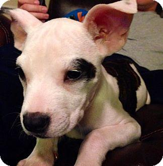 Boston Terrier Mix Puppy for adoption in Elkridge, Maryland - Bailey