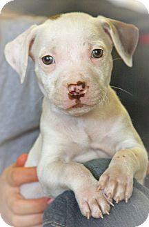 Boxer/American Bulldog Mix Puppy for adoption in CHICAGO, Illinois - TOM