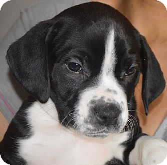Labrador Retriever/Boxer Mix Puppy for adoption in Portsmouth, New Hampshire - Beau-adoption in progress