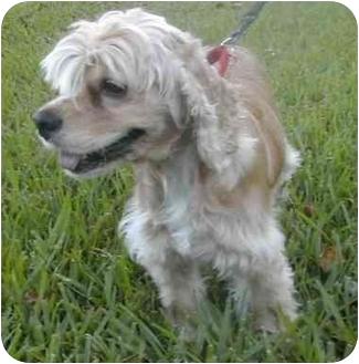 Cocker Spaniel Dog for adoption in Sugarland, Texas - Goldie