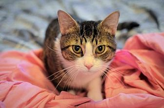 Domestic Shorthair Cat for adoption in Herndon, Virginia - Handsome (& Chessie)