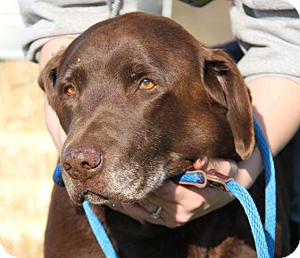 Labrador Retriever Mix Dog for adoption in Marietta, Ohio - Moxy (Neutered)