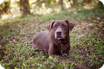 Labrador Retriever Mix Dog for adoption in Lewisville, Indiana - Chanel