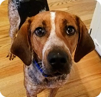 Foxhound/Hound (Unknown Type) Mix Dog for adoption in Chicago, Illinois - Daisy*ADOPTED*