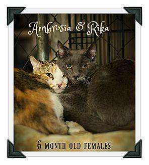 Domestic Shorthair Kitten for adoption in Fallbrook, California - Rika