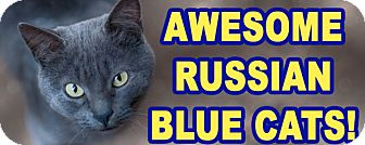 Russian Blue Kitten for adoption in Glendale, Arizona - BORIS