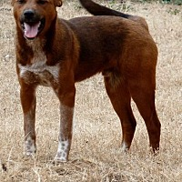 Cattle Dog Dog for adoption in McKinney, Texas - Sport