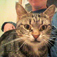 Domestic Shorthair Cat for adoption in Sidney, Maine - Baby Girl Catlin