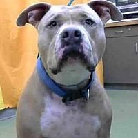 Pit Bull Terrier Dog for adoption in Seattle, Washington - Poppa Meyer
