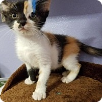 Domestic Shorthair Kitten for adoption in Spring, Texas - Reddit