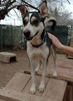 Siberian Husky Mix Dog for adoption in Cedar Crest, New Mexico - Shera