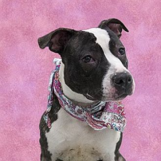 American Pit Bull Terrier Mix Dog for adoption in Cincinnati, Ohio - Shorty