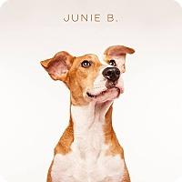 Adopt A Pet :: Junie B - Boston, MA