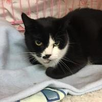 Domestic Shorthair/Domestic Shorthair Mix Cat for adoption in Orleans, Vermont - Kit
