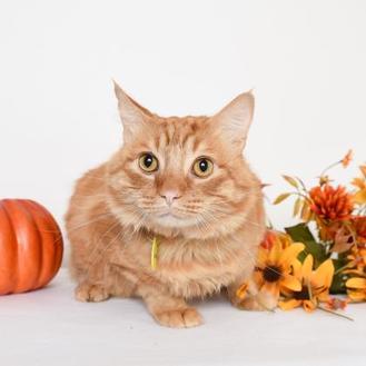 Domestic Mediumhair/Domestic Shorthair Mix Cat for adoption in Chico, California - Casanova