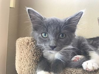 Maine Coon Kitten for adoption in Los Angeles, California - Luxray