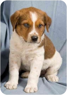 Terrier (Unknown Type, Medium)/Beagle Mix Puppy for adoption in Anna, Illinois - BUTTON