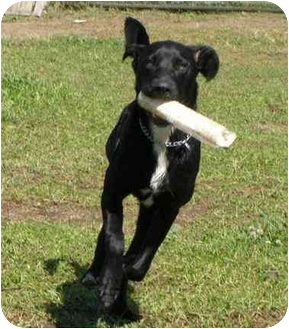 Labrador Retriever/Pointer Mix Puppy for adoption in West Richland, Washington - Titan